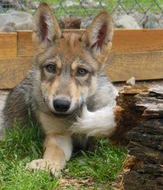 International Wolf Center Meet our ambassador wolves