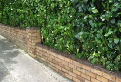 A bigger leaved hedge behind a low brick wall.