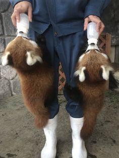 quick, how do I apply for this job! Red Panda Cute, Panda Bebe, Red Panda Gif, Cute Funny Animals, Cute Baby Animals, Animals And Pets, Kawaii Panda, Photo Panda, Dou Dou