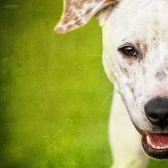 Half face portrait of a Bull Arab #dog.