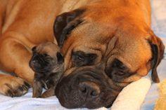 Bullmastiff puppy and it's mother.. LOVE IT!