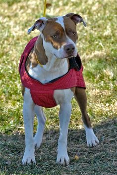 EUTH date now 6/17! ~~EU DATE 06/15/15~~Coconut 75 Breed:Pit Bull Terrier Age: Adult Gender: Female Shelter Information: Johnson City/Washington Co. Animal Shelter 525 Sells Ave Johnson City, TN Shelter dog ID: D20141280 Contacts: Phone: 423-773-8510 Name: Hannah Greene email: jcanimalshelter@embarqmail.com Read more at http://www.dogsindanger.com/dog/1420808415809#ostd0KebvhXYekjB.99