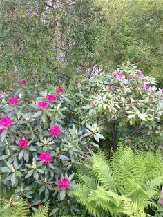 Idag har en rød og en lilla rhododendron sprunget litt ut - gleder meg til full blomstring :) / Today two more rhododendrons are giving me their first flowers :) Looking forward to full flowering :) 22.5.14 / IJ