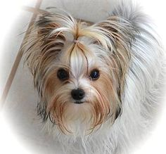 Facts On The Feisty Yorkshire Terrier Puppies And Kids Fakten über die feisty Yorkshire Terrier Welpen und Kinder Rottweiler Puppies, Dalmatian Puppies, Shih Tzu, Teacup Yorkie For Sale, Teacup Dogs, Yorshire Terrier, Bull Terriers, German Dog Breeds, Puppies