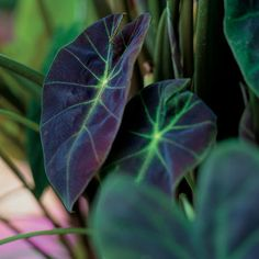 The Elephant Ear Illustris, 'Colocasia Illustris', looks great in a container or in your shade garden. The large beautiful leaves will add diversity and drama to any landscape, large container or patio. The Illustris looks Garden Plants, Colocasia, Small Plants, Garden Design, Perennials, Plants, Outdoor Plants, Tropical Garden, Elephant Ear Plant