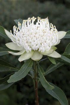 Image result for dwarf white waratah