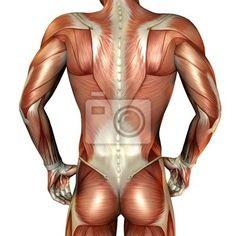 Sticker muskelaufbau männlicher rücken - muskel • PIXERS.de