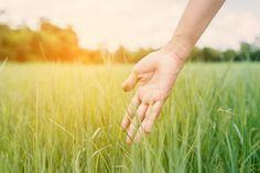 Mão grama fresca tocar ao pôr do sol Foto gratuita