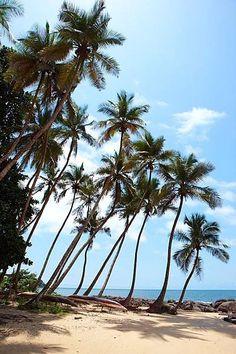 palm trees - Sierra Leone