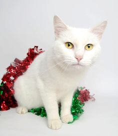 Marilyn Meow is all dressed up for the holidays... won't you click her photo and take her home? (Michigan)