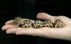 A worker from Romes Biopark zoo holds Testudo Kleinmanni hatchlings, an endangered species also known as Egyptian tortoises, in Rome May 22, 2007.