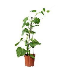 CUCUMIS SATIVUS Plante en pot IKEA