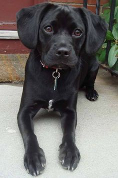 I want a black Puggle for my Sookie girl!!