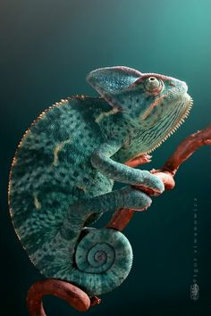Calyptratus - Igor Siwanowicz. Our pet store had one of these a few years ago. I wanted him SOO bad. So pricey!