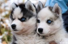 Pomsky Puppies are a mix of larger Husky dog breed and the smaller, fluffy Pomeranian. Check out the most adorable Pomsky puppy ever. Husky With Blue Eyes, Puppies With Blue Eyes, Husky Eyes, Pomeranian Husky Puppies, Husky Puppy, Teacup Pomeranian, Husky Mix, Rottweiler Puppies, Kitty Cats