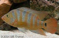 Mayan Cichlids, gravel mover extraordinaires. South American Cichlids, African Cichlids, Freshwater Aquarium, Swimmers, Tropical Fish, Central America, Habitats, Fresh Water, Jewels