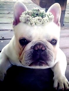 French bulldog ❀Flowers in their coats❀