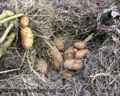 Photo of harvesting potatoes grown in straw