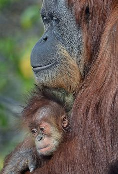 Aisha, a 2 1/2 month old baby orangutan, stays close to her mom Indah.