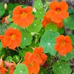 Beneficial flowers for vegetable gardens look pretty and fight off pests!