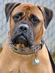 Angus is an adoptable Bullmastiff Dog in Yakima, WA. Angus is a 4.5 year old, altered Bull-mastiff male that weighs 130 lbs, is golden/red colored and has a dark muzzle and a short coat. He will playf...