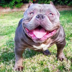 @unafeyed609 #ast #abkc #american #bully #brother #beautiful #dog #dogsofinstagram #americanbully_ by americanbully_