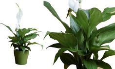 Conheça as plantas ideais para serem criadas dentro de casa ou de um escritório e aprenda como cuidar delas