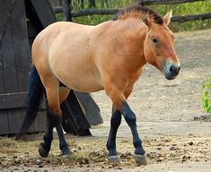 Przewalski's Horse |The only breed of horse that has never been domesticated, the Przewalski's horse is a rare and endangered animal that was once extinct in the wild. They've been reintroduced to their native Mongolian habitat after being successfully bred in captivity.