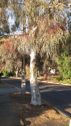 Acacia Cognata Dazzler Din San Nursery Plant Database