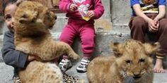 Improve Animal Welfare Laws To Ban Private Ownership of Wild Animals Like Lions