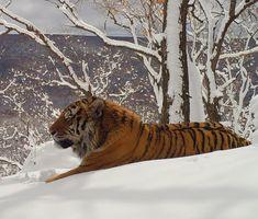 """Перед вами амурский тигр из национального парка """"Земля леопарда"""" 🐅 Это крупнейший на планете подвид тигра. Основной ареал находится на юге Дальнего Востока России. Отдельная группировка этих кошачьих живёт в лесах юго-западного Приморья, где находится под надёжной защитой на """"Земле леопарда"""". На наших охраняемых территориях зафиксированы 31 взрослый амурский тигр. Здесь – самая высокая плотность амурского тигра на Дальнем Востоке. Общая численность в России оценивается в около 580 особей… Animales"""