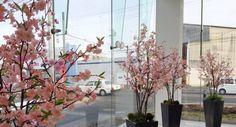 カーディーラ 店内に桜のディスプレイ❢高さを出すため接ぎ木は本物の枝を使用しています。