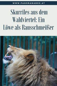 Sperrstund' im Wirtshaus: Ein Löwe als Rausschmeißer in einem Dorf im Waldviertel Road Trip Destinations, Interesting Facts, Woodland Forest, Viajes, Animales