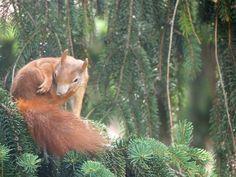 Squirrel, Fox, Animals, Animales, Animaux, Squirrels, Animal, Animais, Foxes