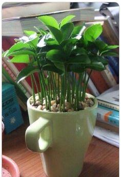 """ Nice Plant Out Of Lemon Seeds"""