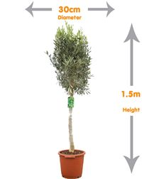 Olive Tree- This olive tree oozes elegance and class and will complement any garden landscape Buy Olive Tree, Mediterranean Garden Design, Trees Online, Topiary, Garden Landscaping, Shrubs, Landscape, Plants, Front Yard Landscaping