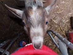Goat Facts You May Not Know #goats #raisinggoats #interestingfacts