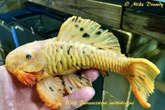 Wild Parancistrus aurantiacus Yellow Chubby Plecostomus Photograph By Mike Drawdy of Imperial Tropicals Red Fish Blue Fish, One Fish Two Fish, Tropical Freshwater Fish, Freshwater Aquarium Fish, Parrot Fish, Betta Fish, Tropical Fish Store, Pleco Fish, Plecostomus
