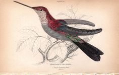 1833 Hummingbird Antique Print Hand Colored by AntiquarianPrints, $20.00