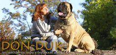 Puppies English mastiff, Bordeaux dogs, Chihuahuas - Website mastiff-dn!