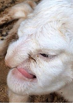 The lamb with the 'human' face...