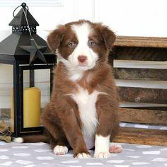 Bailey, Border Collie Puppy