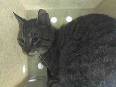 UNIVERSITY -  A1038810 - - Brooklyn   ***TO BE DESTROYED 06/10/15*** SENIOR BOY UNIVERSITY FOUND HIS WAY INTO THE ACC AS A STRAY AND SADLY TESTED POSITIVE FOR FIV – NOW THEY ARE PLANNING TO END HIS LIFE AT NOON!! UNIVERSITY sounds like a smart cat – and he is – because he knows that the shelter is not a good place to be. UNIVERSITY was brought in as a stray without any background information. He is not happy and very afraid and was slapped with the New Hop