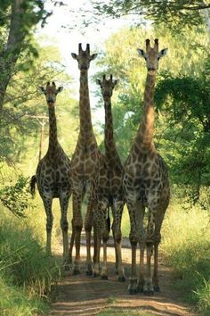 Giraffe family walking down the path Nature Animals, Animals And Pets, Baby Animals, Funny Animals, Cute Animals, Wild Animals, Baby Elephants, Giraffe Pictures, Animal Pictures