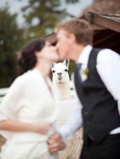llama photobombs married couple kissing animal photobombing