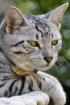 Gorgeous silver tabby cat ~ Oh my he know's it too.