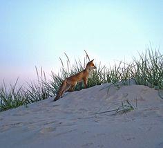 Fox on Pärnu beach