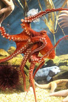 Octopus feeling a bit orange animals Underwater Creatures, Underwater Life, Ocean Creatures, Beautiful Sea Creatures, Animals Beautiful, Kraken Octopus, Life Under The Sea, Beneath The Sea, Water Animals