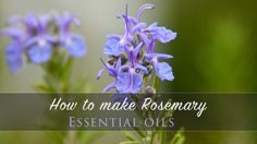 You just need 5 steps to create rosemary essential oils! start now