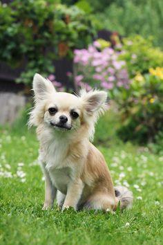 Smiling Chihuahua   #chihuahua #chihuahuadogs  http://www.petrashop.com/